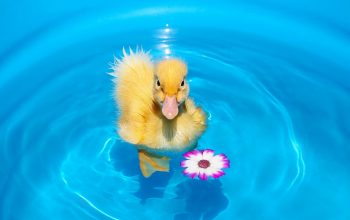 duckling-chick-flower-water-free