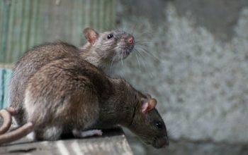genova-derattizazione-topi